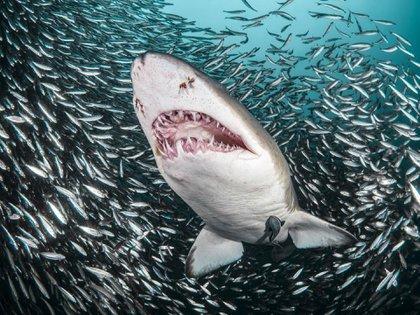 Se trata de 34 especies en total que fueron catalogadas como las de mayor riesgo y con grandes necesidades de protección, entre ellas el tiburón blanco