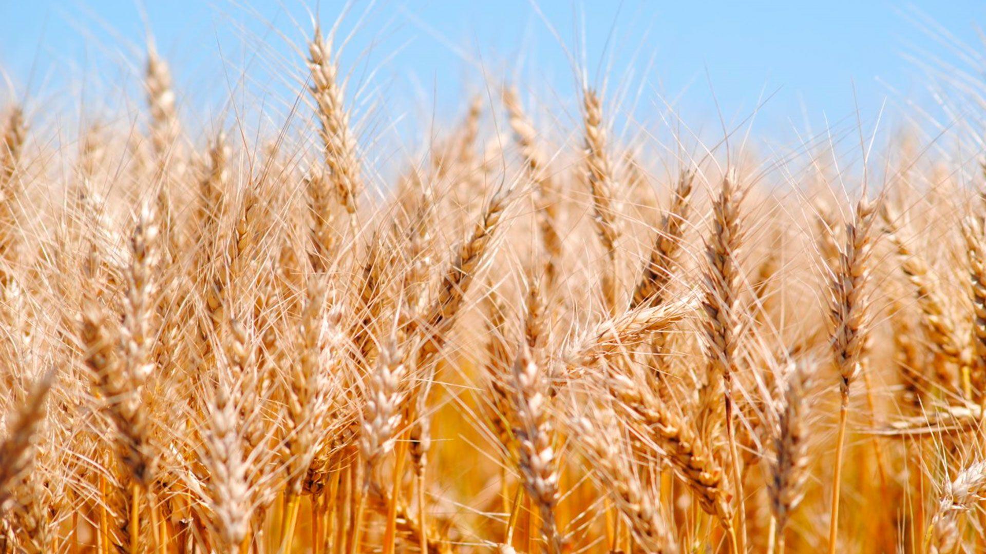 trigo-don mario