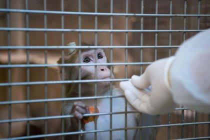 El macaco Rhesus comparte con los humanos el 93% del ADN y un ancestro hace 25 millones de años. (Marijan Murat/picture-alliance/dpa/AP)