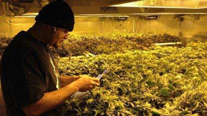 Cultivo de marihuana legal en Estados Unidos