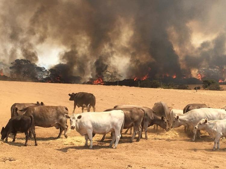 100 mil cabezas de ganado han muerto producto de los incendios forestales en Australia (Reuters)
