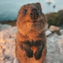 The Comedy Wildlife Photography Awards 2019 James Vodicka Sydney Australia Phone: 0435624907 Email: info@jamesvodicka.com Title: Excuse Me! Description: An inquisitive wild quokka interrupts my sunset shoot for a brief hello and welcome to Rottnest Island, the only place in the world that the Australian mammals live natively. Animal: Quokka Location of shot: Rottnest Island, Australia