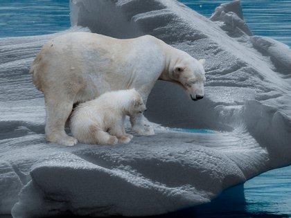 La Unión Internacional para la Conservación de la Naturaleza (UICN) considera que el número de osos polares se reducirá un 30% en menos de 30 años (Pxhere)