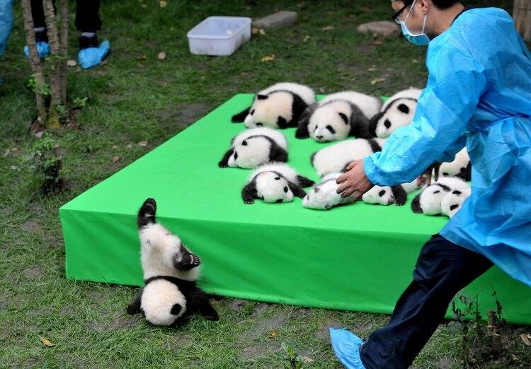 Trabajar como cuidador de pandas es una sucesión de momentosencantadores, describió el empleado de la Base de Investigaciones de Chengdu. (China Daily/viaReuters)