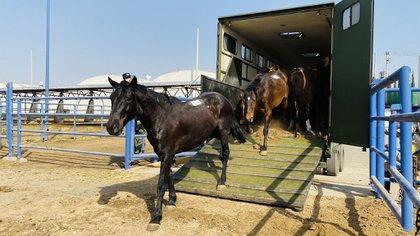 La mieloencefalopatía por herpesvirus provocó la muerte de al menos 2 caballos (Foto: Twitter/Birmex)
