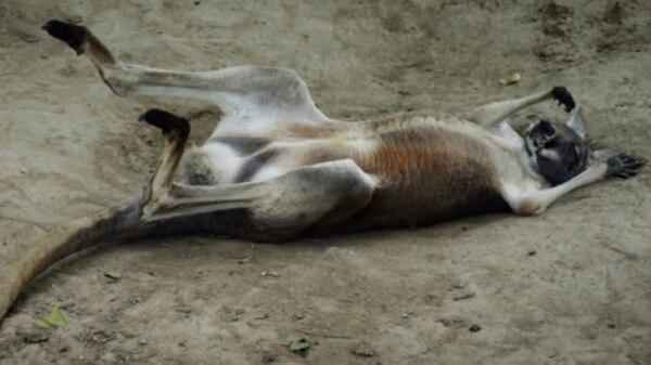Un canguro australiano en el zoológico de Beijing (AFP)
