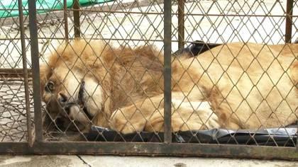 Tiene la piel gruesa ceñida a las costillas, la mirada extraviada y está sin fuerzas para mantenerse en pie. Júpiter, un disminuido león de 20 años, fue trasladado el jueves a la ciudad colombiana de Cali en un intento por salvarlo de la muerte.
