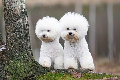 El bichón frisé es una raza canina pequeña y de compañía, notable por su pelaje blanco y esponjoso, conocido por ser un perro alegre, activo e incansable. Su esperanza de vida es de 12 a 15 años