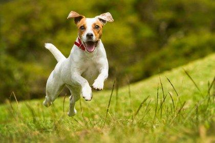 El jack russell terrier es un perro básicamente blanco, más compacto que alto, ágil, y cuenta con mucha fuerza y resistencia
