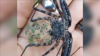 Este tipo de araña se llama Amblypygi, también conocida como Aaraña Whip americana o araña escorpión por sus pinzas frontales. Como pocas especies en la naturaleza cargan a sus crías en la espalda hasta que estas son completamente independientes Foto (Captura de pantalla Facebook)