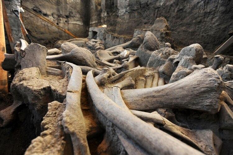 Los mamut habitaron en la zona de los lagos de Zumpango, Xaltocan y San Cristóbal, en la cuenca del Valle de México, hace más de 70 mil años (Foto: INAH /CUARTOSCURO – Archivo)