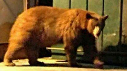 El oso ya había sido visto en los alrededores de Forrest Falls