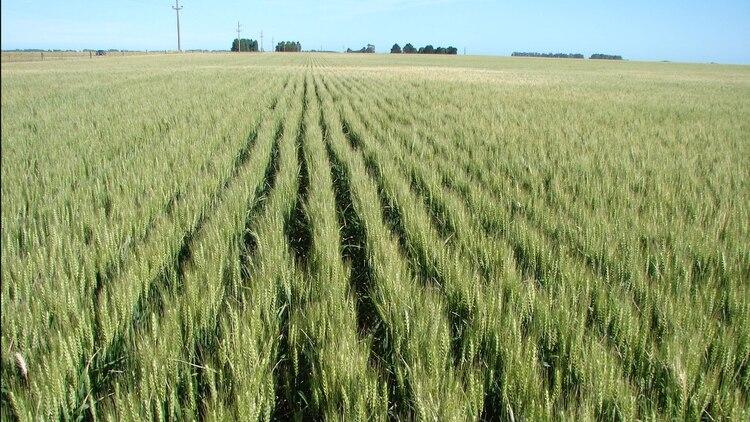 Para la presente campaña de trigo, la Bolsa de Comercio de Rosario proyecta una siembra de 1.800.000 hectáreas para la región núcleo