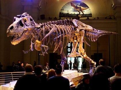 """Foto de archivo de los restos del dinosaurio bautizado como """"Sue"""", un Tyrannosaurus rex, en el Field Museum de Chicago (Reuters)"""