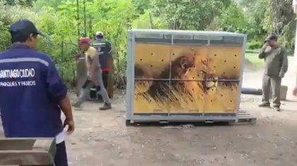 El momento de la llegada de las cajas al predio donde viven los cinco felinos. (El nuevo Diario de Santiago del Estero)