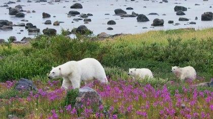 Osos polares en la Bahía Hudson, en Canadá.