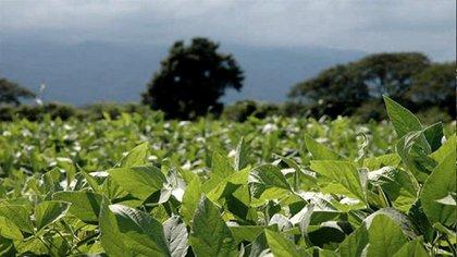 Los lotes sembrados con soja recuperar humedad, luego del impacto de la sequía
