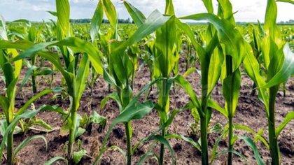 La falta de precipitaciones en diferentes regiones productivas del país, afecta negativamente a la próxima siembra de maíz