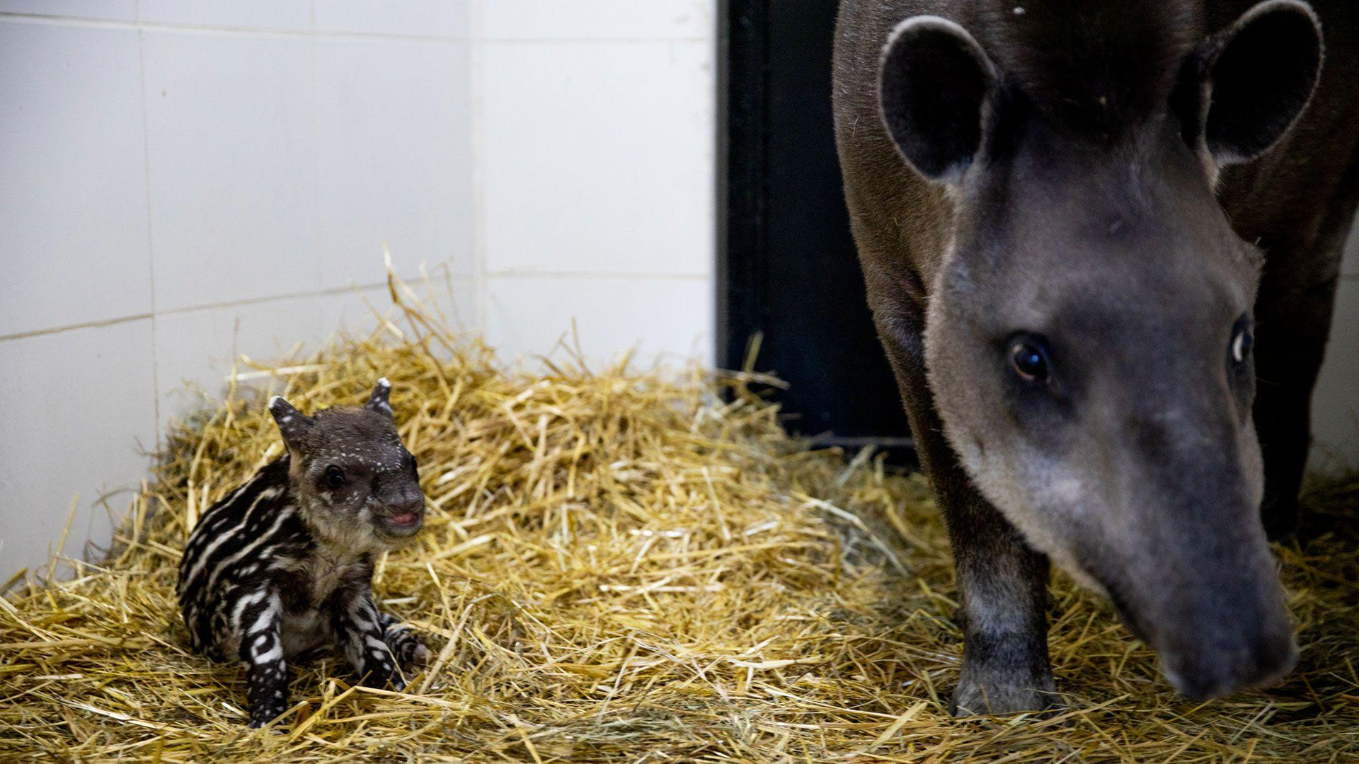 Tapir en el Ecoparque
