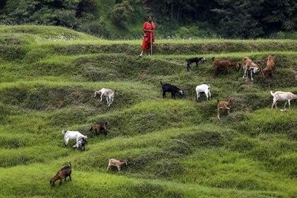 Una mujer con sus cabras en Bhaktapur, Nepal (REUTERS/Navesh Chitraka)