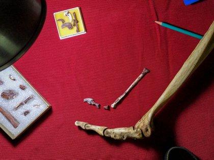 Restos de la pequeña pata del Overoraptor comparado con huesos de avestruz (Matías Motta)