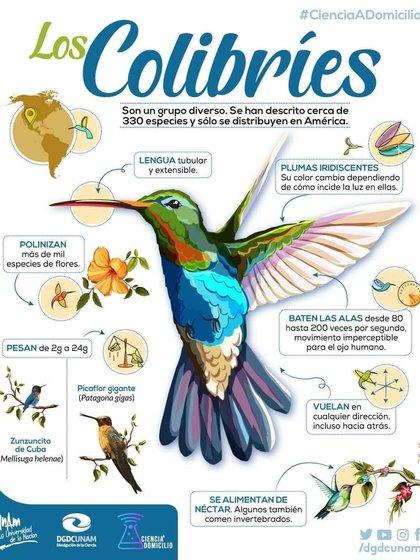 Por su metabolismo, el colibrí no puede vivir en cautiverio (Foto: Twitter @dgdcunam)