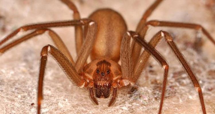 La araña violonista vive en espacios con objetos acumulados (Foto: Especial)