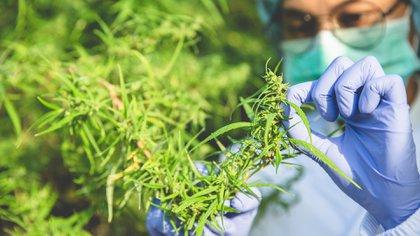 La regulación del cannabis medicinal y el uso industrial del cáñamo quedaron fuera de este dictamen (Foto: Shutterstock)