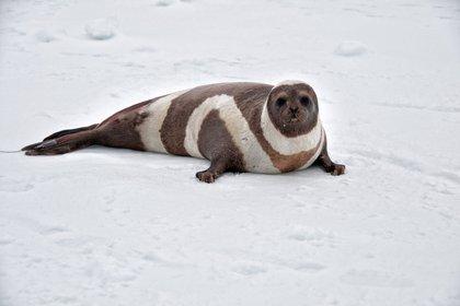 Focas franjeadas o listadas del Ártico son una especie en extinción, amenazada también por el virus - DAVE WITHROW / NOAA