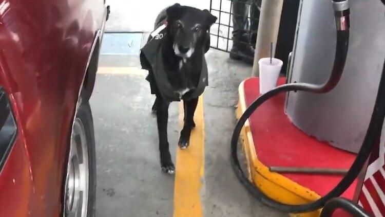 Los trabajadores de la gasolinera la adoptaron y le pusieron un chaleco igual al de ellos (Foto: screenshot video)