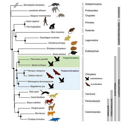 Figura 3. Los murciélagos (Chiroptera) forman un grupo monofilético que se separó muy pronto del grupo de mamíferos placentarios de superorden Laurasiatheria. De acuerdo con la filogenia genético molecular, dentro del grupo hay dos subórdenes, Yangochiroptera, formado por la mayoría de las familias de micromurciélagos, y Yinpterochiroptera, formado por los megamurciélagos y seis de las familias de micromurciélagos. Modificada a partir de Tsagkogeorga et al. 2013.