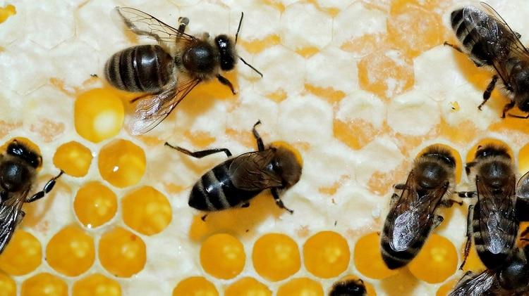 Las abejas son fundamentales para la producción del campo (Foto: Reuters)