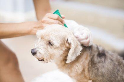 El vínculo de los humanos con las mascotas obliga a que el medicamento antiparasitario sea aplicado con más frecuencia (Getty Images)