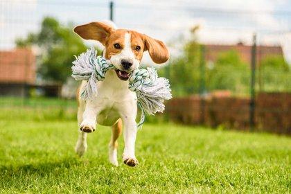 Los beagle son una raza de perro de tamaño pequeño a mediano. Tienen un aspecto similar al foxhound, pero de menor tamaño, con patas más cortas y orejas más largas y suaves. Su esperanza de vida va de 12 a 15 años