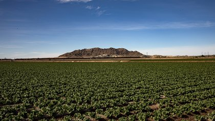 """A border wall with Mexico is visible on the horizon beyond a field of lettuce in Yuma, Ariz., Jan. 12, 2021. Yuma County, known as """"America's salad bowl,"""" has identified coronavirus cases at a higher rate than any other U.S. region during the coronavirus pandemic. (Adriana Zehbrauskas/The New York Times)"""