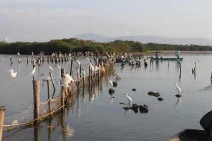 Al navegar por la laguna de Mexcaltitlán se pueden observar diferentes especies de aves (Foto: Ministerio del Ambiente y Recursos Naturales)