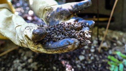El apicultor Gildardo Urrego muestra abejas envenenadas en su colmenar en Santa Fe de Antioquia, departamento de Antioquia, Colombia, el 31 de enero de 2021. (AFP)