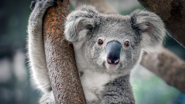 Koala (Shutterstock)