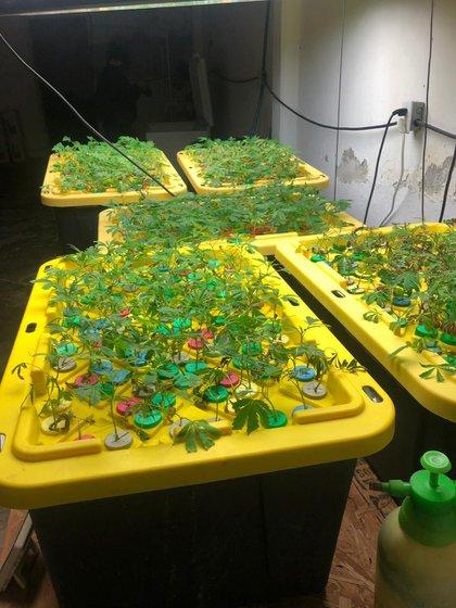 Las plantas encontradas fueron decomisadas por las autoridades (Foto: Cortesía de la Fiscalía mexicana)