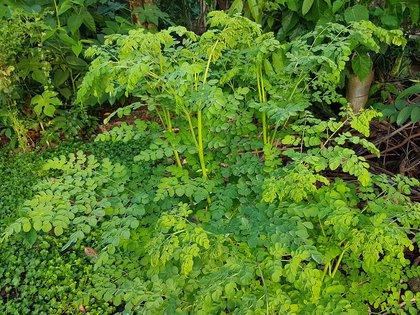 La moringa es un árbol resistente que puede llegar a los ocho metros de altura.(Wikipedia)