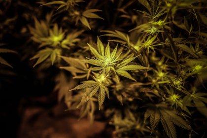 México recién inició un proceso para regularizar el consumo de marihuana (Foto: EFE/Juan Ignacio Roncoroni)