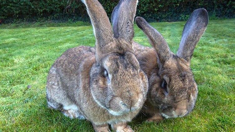 Darius y Jeff pertenecen a una raza de conejos gigantes Daily Mail 163