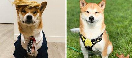 A la izquierda, el perro de raza japonesa vestido y peinado como Donald Trump.