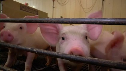 En el sector agropecuario, por el interés comercial y sin una justificación sanitaria, se han usado más los antimicrobianos para acelerar el crecimiento de animales para consumo humano, principalmente pollos y cerdo. (Foto: Archivo)