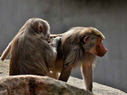 El babuino es considerado una de las especies de mono más grande y salvajes de todo el mundo (Foto:Pixabay)