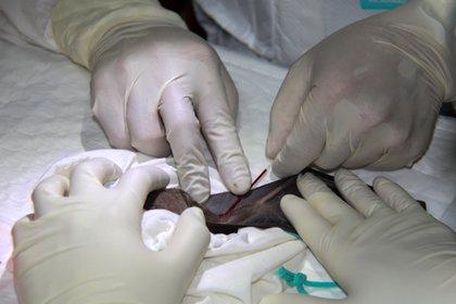Investigadores recogen muestras de sangre de un murciélago de herradura en Tailandia (REUTERS)