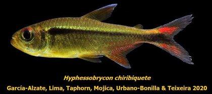 La especie fue nombrada como Hyphessobrycon chiribiquete. Foto: Twitter Carlos García-Alzate.