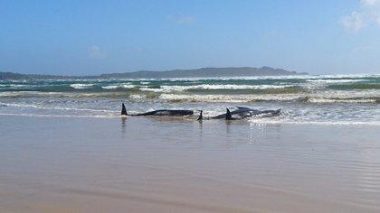 Otras 200 ballenas piloto permanecen varadas en Tasmania.