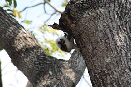 Un mono tití en el Parque Tayrona, reserva natural junto a la Sierra Nevada de Santa Marta, al norte de Colombia. Foto: cortesía Parques Nacionales Naturales de Colombia.