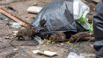 Los roedores son muy peligrosos debido a la cantidad de enfermedades que pueden transmitir (Shutterstock)